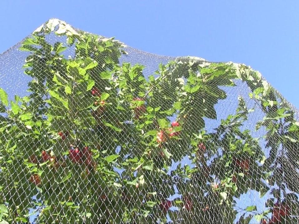 Мрежа за защита на плодни дървета от птици